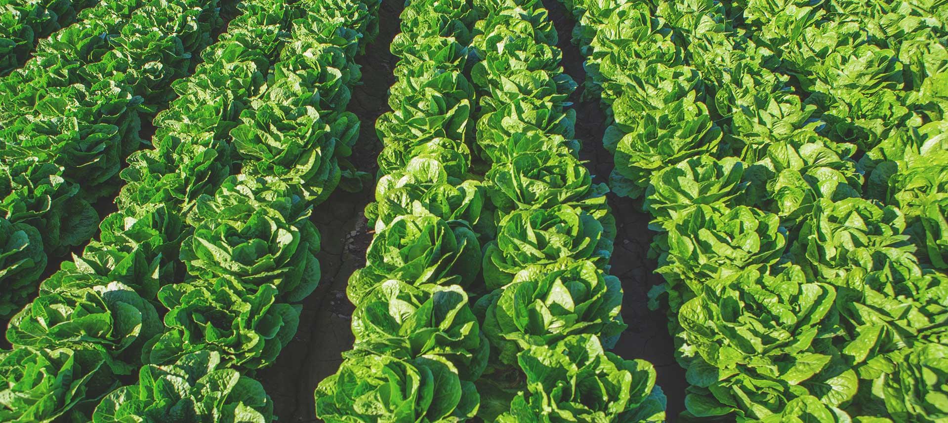 Romaine lettuce Yuma AZ